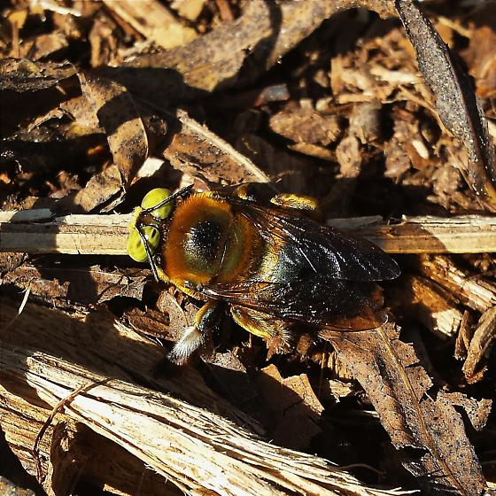 Male carpenter bee, Xylocopa micans - Xylocopa micans - male