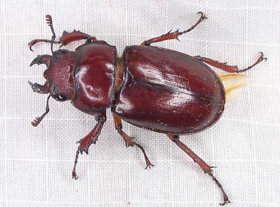 Lucanus capreolus - female