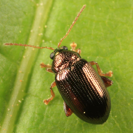 Flea Beetle - Crepidodera
