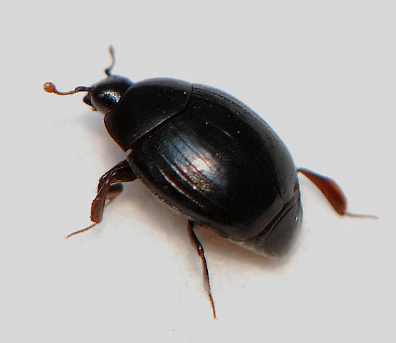 unknown  small black beetle - Dendrophilus
