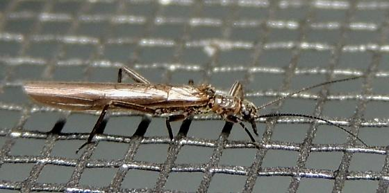 Rolled-wing Stonefly?