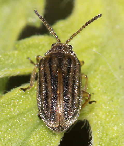 Which Leaf Beetle is this? - Ophraella communa