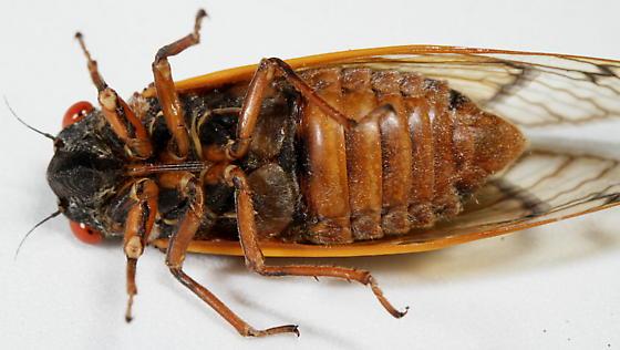 Brood XIX Periodical Cicada 2011 - Magicicada tredecim - male