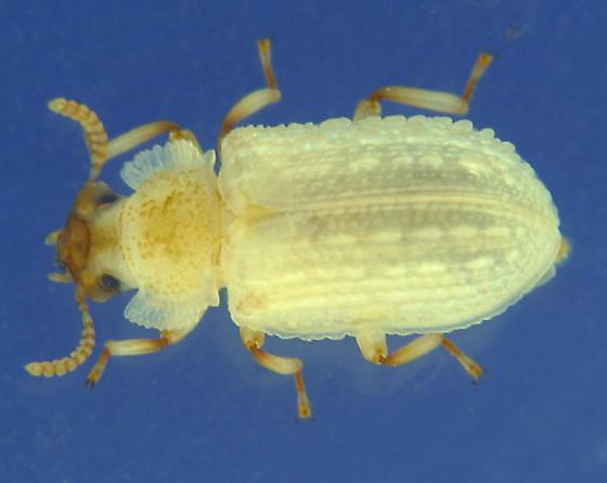 conifer underbark sheet fungus beetle - Bolitophagus corticola