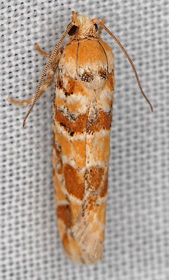 Moth - Eucopina bobana