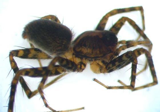 KY spider 09 - Pardosa milvina - female