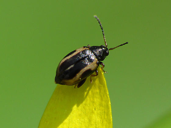 Tiny Beetle on Celandine - Phyllotreta striolata