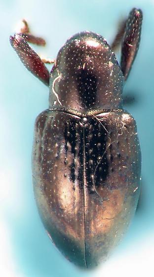 black shine weevil - Tyloderma aereum