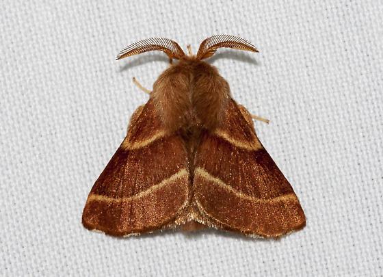 Malacosoma californica - Malacosoma californicum