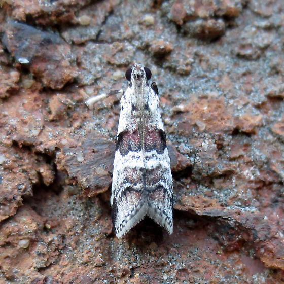 Watson's Tallula Moth (Tallula watsoni)? - Tallula