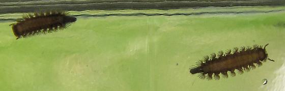 Unknown larva - Polyxenus lagurus