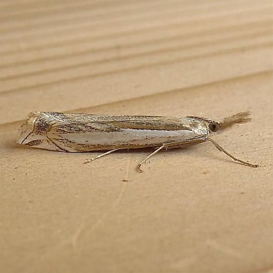 Crambidae: Crambus cypridalis - Crambus cypridalis