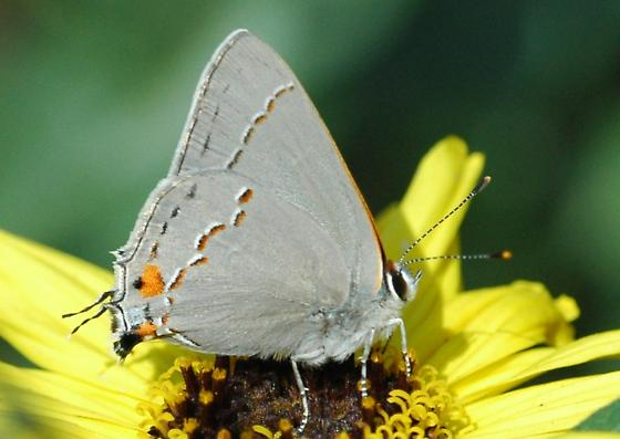 Gray hairstreak for California in February - Strymon melinus - male