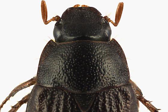 Scarab Beetle - Serica tristis