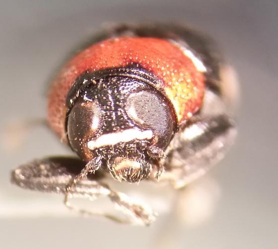 Chrysomelidae beetle? - Griburius montezuma