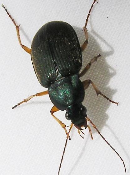 Metallic Green Ground Beetle - Chlaenius impunctifrons