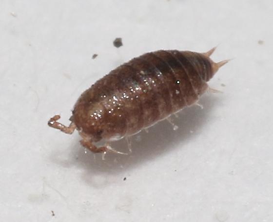 Trichoniscidae - Trichoniscus pusillus