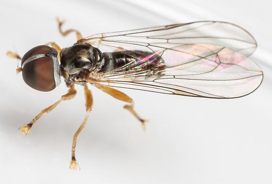Big-headed Fly - Pipunculus