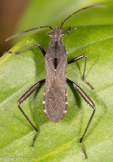 Alydus eurinus