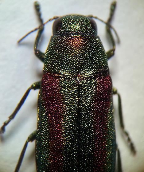 Chrysophana placida? - Chrysophana placida
