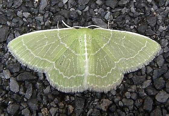 Pennsylvania Moth - Synchlora aerata