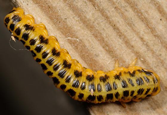 spotted sawfly larva - Macremphytus testaceus