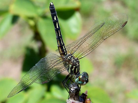 ? - Pachydiplax longipennis - female