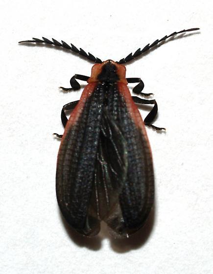 Lycid - Caenia amplicornis
