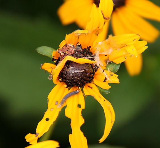 little caterpillar on Rudbekia - Cacoecimorpha pronubana