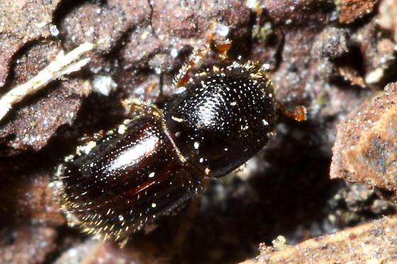 Bark Beetle - Xylosandrus germanus