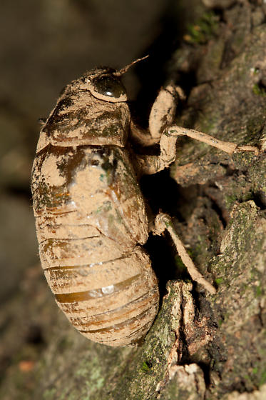 A Second Time Lapse of a Tibicen Molting from a Different Angle - Neotibicen tibicen