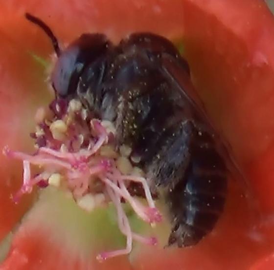 Small Chimney Bee - Globe Mallow Bee (Lateral Abdomen) - Diadasia diminuta - male