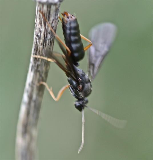 Sawfly? - Formica - male