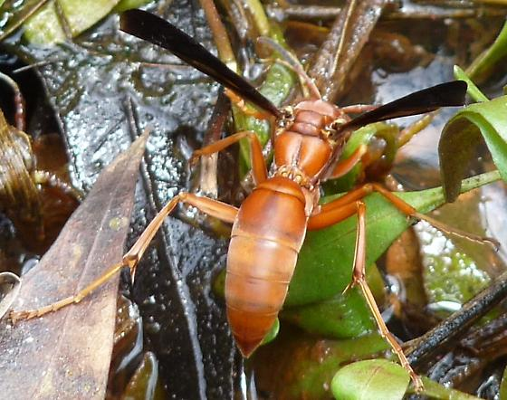 Large orange wasp w/ black wings - Polistes