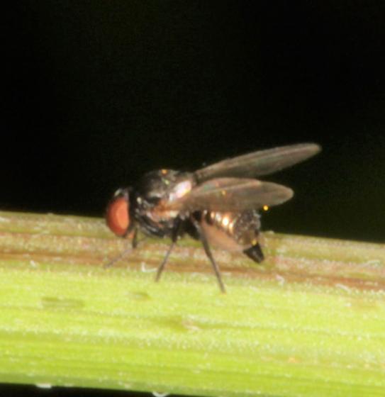 Gold metallic fly - Melanagromyza - female