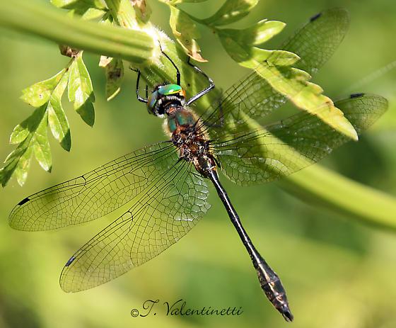 Black dragonfly, green face - Dorocordulia libera