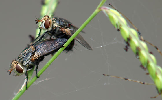What kind of flies are these? - Archytas marmoratus - male - female