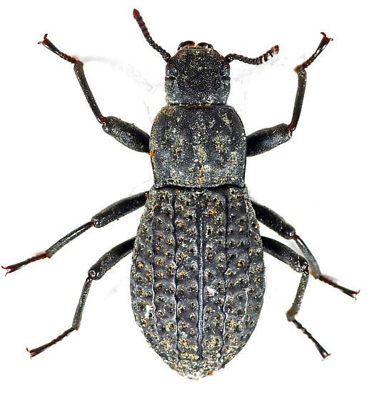 Darkling Beetle - Polypleurus perforatus