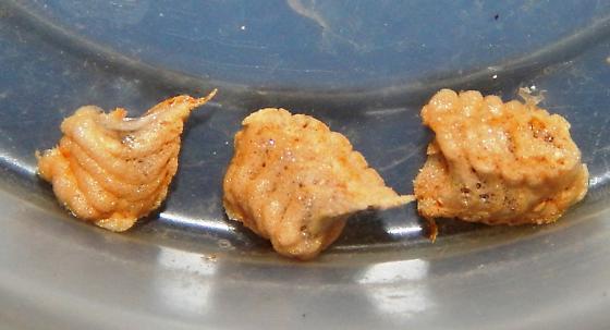 Tiny Mantis - Oligonicella scudderi