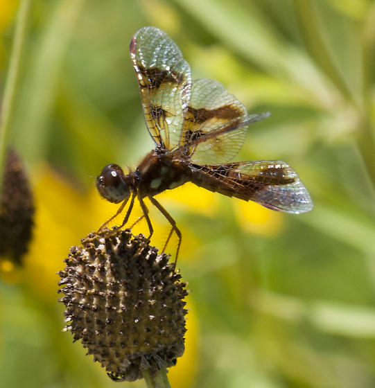Female Amberwing - Perithemis tenera - female