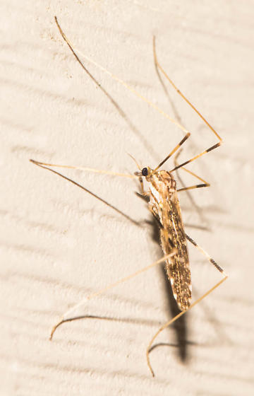 Spotted-margin crane fly - Erioptera caliptera