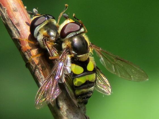 Didea fuscipes ? - Didea fuscipes - male - female