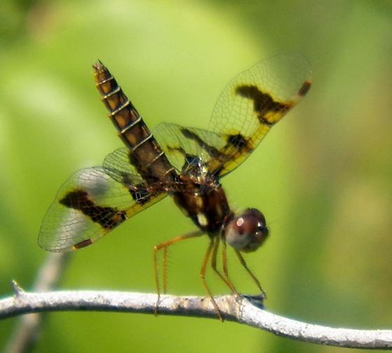 Dragonfly small ? - Perithemis tenera