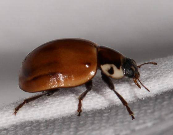 orange beetle with white-flanked pronotum - Myzia pullata