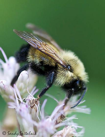 Bombus sp. - Bombus citrinus - male