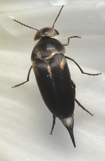 Mordellidae - Mordella lunulata