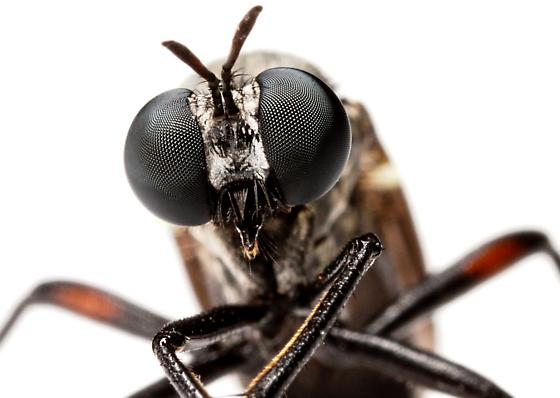 Robber fly - Saropogon