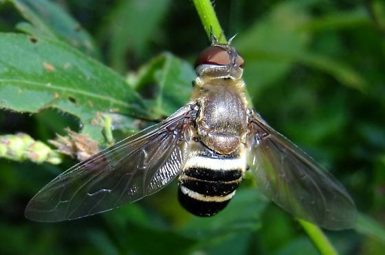 Bee Fly? - Exoprosopa fasciata