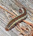 Caterpillar - Spodoptera ornithogalli