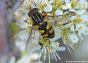 American Hover Fly (Metasyrphus americanus)? - Helophilus fasciatus